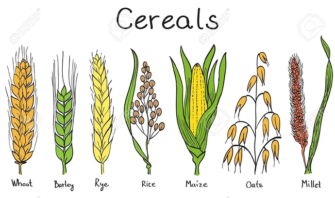 13865808-cereals-hand-drawn-illustration-wheat-barley-rye-millet-oat-rice-maize